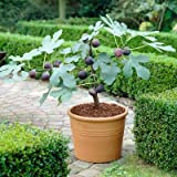 Chicago Hardy Fig Tree - 1 Gallon