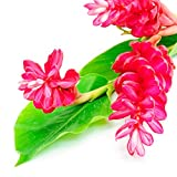 Hot Pink Ginger Alpinia purpurata Live Plant