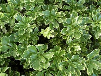 Classy Groundcovers - Pachysandra terminalis 'Silver Edge' {50 Bare Root Plants} by Classy Groundcovers (Image #9)
