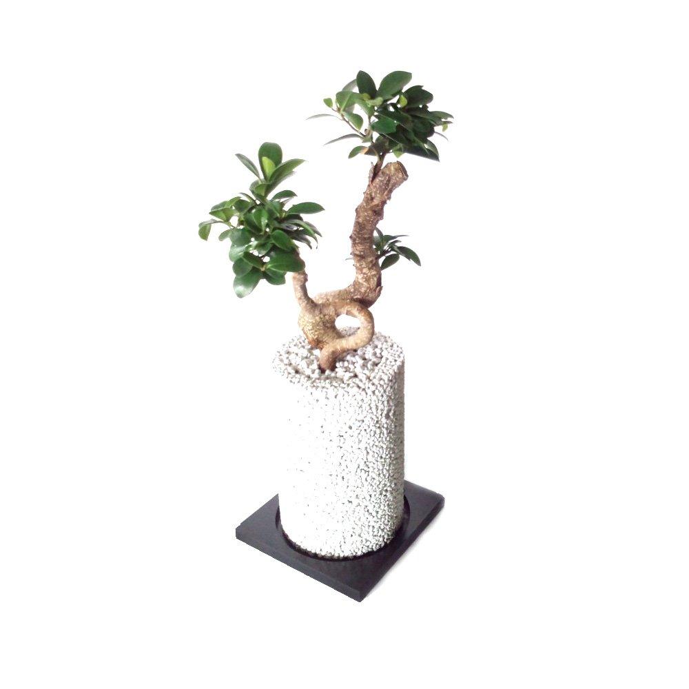 ガジュマル × エコポチチムニー(円柱型) 白【eco-pochi】 竹炭やシラスを使った観葉植物用ポッド B00F4O383I 白 白