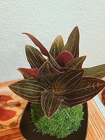 Amazon Com Kokedama Bonsai Moss Ball With Jewel Orchid Unique