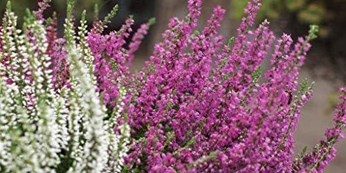 5 Alpine Plants 10 Plants Rockery Plant Mix 5 Heather Plants for Planting in Rockeries