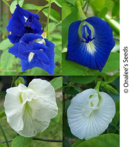 Butterfly Pea Vine Seeds: Single and Double Blue and White Mix, Clitoria ternatea, bunga telang, Edible/Tea and Decorative, Butterfly Garden/Host Plant (15+ Seeds) From USA. by Onalee's Seeds