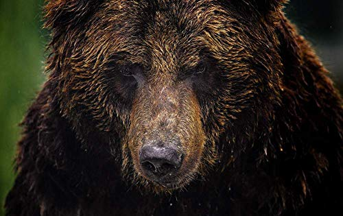 KaoHun Animal Close up Bear Grizzly Bear face - Animal Picture Art Canvas Print Poster,Home Wall Decor 36x24 inches