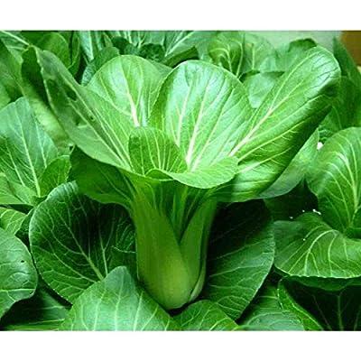Shanghai Green Pak Choi Seeds (40 Seed Pack) : Garden & Outdoor