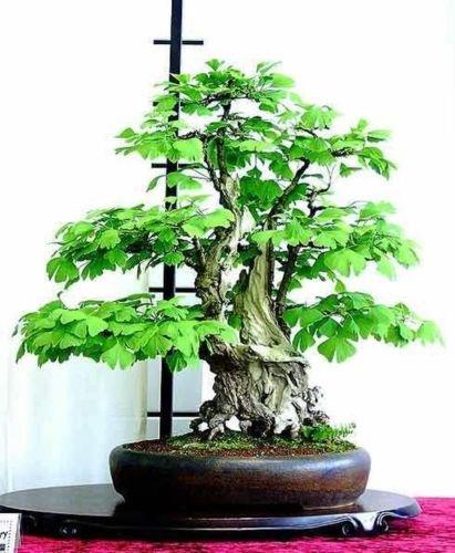 Amazoncom 10 Pcs Ginkgo Biloba Bonsai Trees Seeds Garden Outdoor