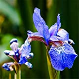 Blue Butterfly Iris Seed Phalaenopsis Orchid Seed Blue Review and Comparison
