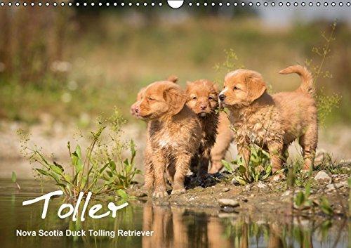 Toller - Nova Scotia Duck Tolling Retriever (Wandkalender 2015 DIN A3 quer): Ein Kalender mit 13 wunderschöne Fotos von Novia Scotia Duck Tolling verzaubern. (Monatskalender, 14 Seiten)