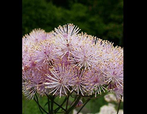 (Seeds Columbine Meadow Rue Thalictrum Aquilegifolium Pink Flower Get 5 Seeds #LC01YN)