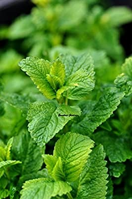 Organic Herb-Lemon Balm herb 25+extra seeds Brew an invigorating medicinal Herbal tea use in bouquets to add a lemony scent to any room,attracts bees!