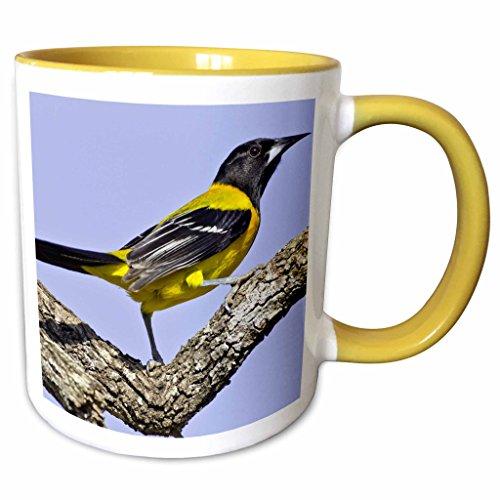 3dRose 190625_8 USA, Texas, Santa Clara Ranch Audubon oriole on limb, Yellow Mug 11 oz (Audubon Large Ranch)