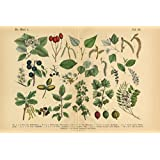Forest Fruit Trees and Plants Victorian Botanical Art Print Poster 18x12