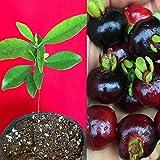 Grumichama Grumixama Eugenia Brasiliensis Brazilian Cherry Tropical Fruit Tree