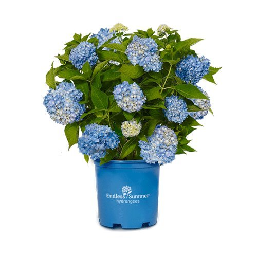 Endless Summer Original Hydrangea Shrub