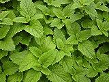 Lemon Balm, Mellisa (Melissa officinalis L.) Herbal Plant Heirloom Seeds, Calming Culinary Herb