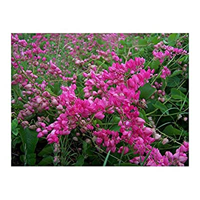 Coral Vine: Pink (Antigonon leptopus) Rosa De Montana, Queen's Wreath, Mexican Creeper (18+ Seeds) : Garden & Outdoor