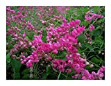 Coral Vine: Pink (Antigonon leptopus) Rosa De Montana,Queen's Wreath, Mexican Creeper (100+ Seeds) Bulk Wholesale
