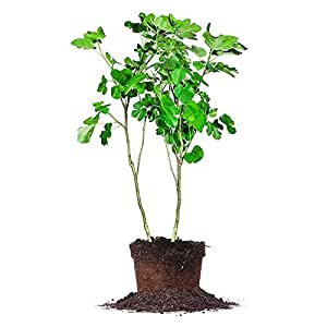 amazoncom black mission fig tree size 5 gallon live