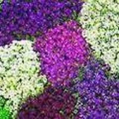60+ Alyssum Lilac Lace Mix Flower Seeds / Re-seed Annual : Flowering Plants : Garden & Outdoor