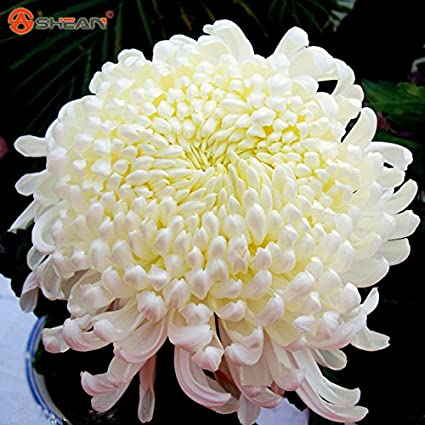 Amazon brand new flower seeds potted white chrysanthemum flower seeds potted white chrysanthemum seeds beautiful potted plant seeds 100 particles mightylinksfo