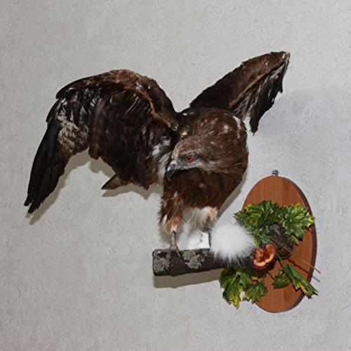 Black Kite Taxidermy Bird Mount Stuffed Bird For Sale Hawk