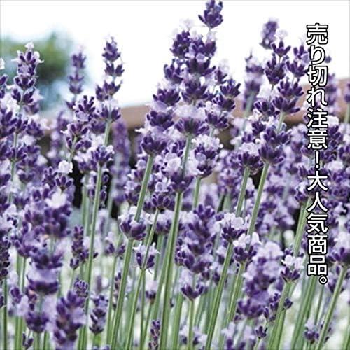 国華園 種 花たね イングリッシュラベンダー 1袋(150mg)/メール便配送