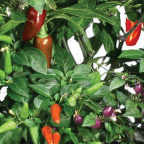 AeroGarden AERO509 - Chili Pepper Seed Kit - Includes 2 Jalapeno Pepper 2 Red Fire and 3 Purple Super Hot Seed Pods - AERO509 by Hydrofarm