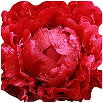 "1 Red Buckeye Belle Peony Live paeonia Beautiful 6/"" Plant Bulb Root"