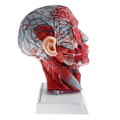 - SM SunniMix Anatomical Human Sagittal Plane Half Head and Face Anatomy Brain Neck Median Section Model Lab Demonstration Model