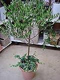 New Arrival!!! 15/bag Olive Bonsai tree (Olea Europaea) Seeds, Bonsai Mini Olive Tree, Olive Bonsai Fresh Exotic Tree Seeds
