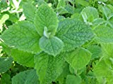 500 Seeds Apple Mint Egyptian Fragrant Round Leaves Mentha rotundifolia