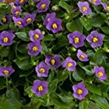 100 Seeds Exacum Affine Seeds Exacum affine Seeds Fragrant Plant Seeds Home & Garden 4 #32706319935ST