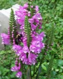 Physostegia virginiana Rose Queen PINK OBEDIENT PLANT Perennial Seeds!