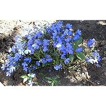 Flower Seeds Blue Garden Lobelia Goluboy Kover (Lobelia erinus) Annual