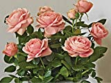 "Rose Miniature Patiohit 'Carmela' - Everblooming/Fragrant - 4"" Pot"
