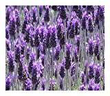 Lavandula dentata - French Lavender - 20 Seeds