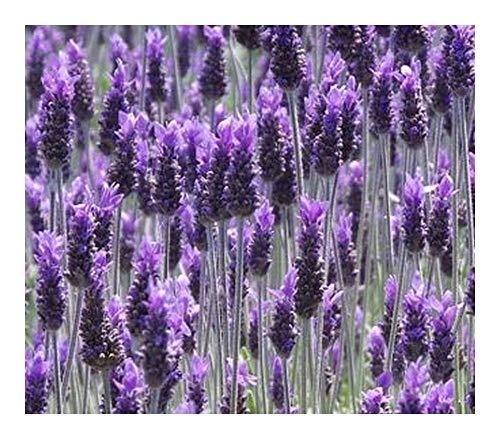 - Lavandula dentata - French Lavender - 20 Seeds