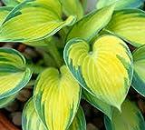 June Variegated Hosta (Perennial) - Live Plant - Trade Gallon Pot
