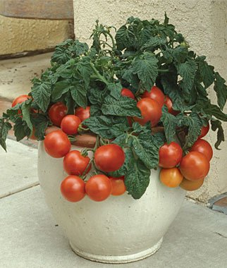 Image result for 6. Patio F Tomato in container
