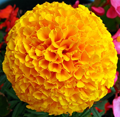 Double Yellow Marigolds - My Secret Gardens