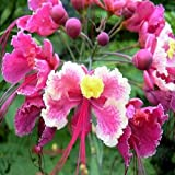 PINK BIRD OF PARADISE CAESALPINIA PULCHERRIMA 10 seeds by Tropical Oasis