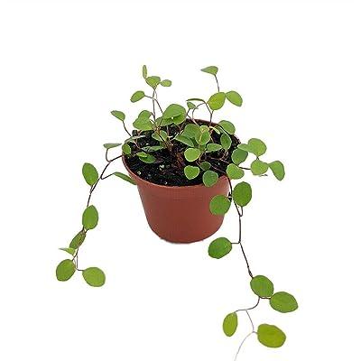 "AchmadAnam - 2.5"" Pot - Biblical Angel Vine - Muehlenbeckia - Houseplant/Terrarium/Fairy Garden : Garden & Outdoor"
