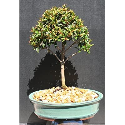 Brush Cherry Bonsai Tree by Sheryls Shop : Bonsai Plants : Grocery & Gourmet Food