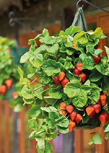 Pack of 2 fresa para colgar maceta macetas Tomate crecer bolsa ...