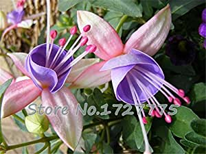 100pcs Fuchsia Hybrida Hort Seeds,Bonsai Lantern Flowers,For Garden Home,Flores Semillas