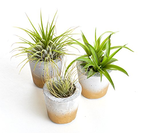 Shop Succulents | | Live Air Plant Collection in Grey Concrete Barrel Planter Trio with Gold Accents, Hand Selected & Planted, Ideal for Home Décor or Wedding Events 3