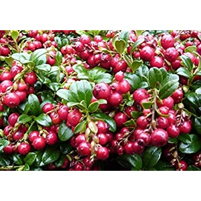 Vaccinium Vitis IDAEA 'RED Candy' - Lingonberry - Starter Plant : Garden & Outdoor