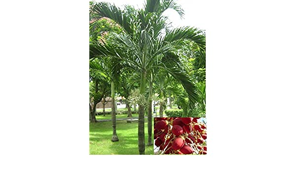 Christmas Palm,Wodyetia bifurcata,Foxtail Palm 10 seeds Manila Palm