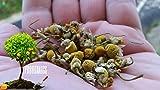 1000+ Organic Chamomile seeds by Prorganics