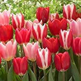 Van Zyverden Tulips Candy Striper Blend Set of 15 Bulbs